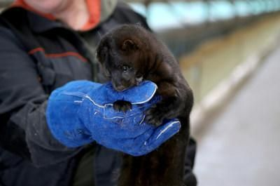 European mink (CNW Group/Genome British Columbia)